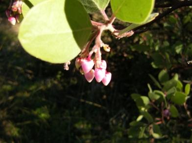 jenjoycedesign©manzanita-blossoms