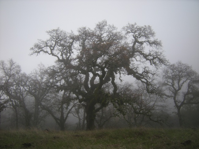 jenjoycedesign©blue oaks in fog