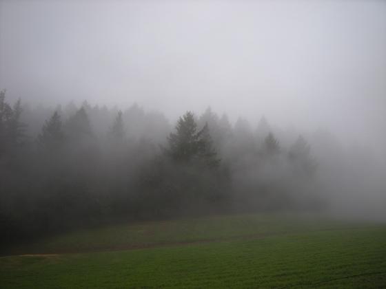 jenjoycedesign©douglas firs in fog
