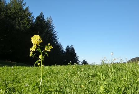 jenjoycedesign©mustard flower