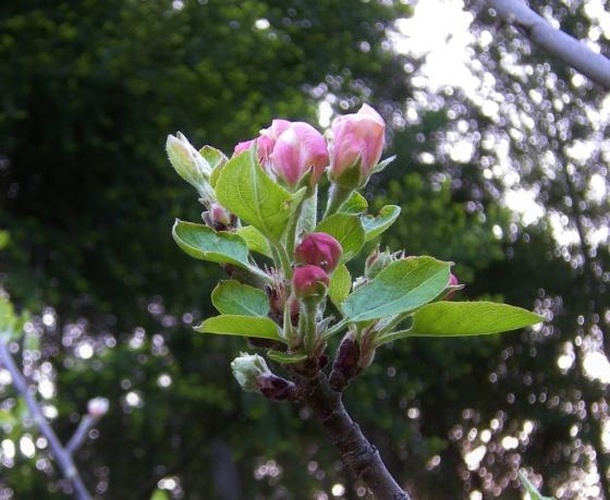jenjoycedesign©apple blossom