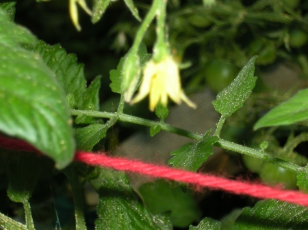 cotton yarn tomato trellis