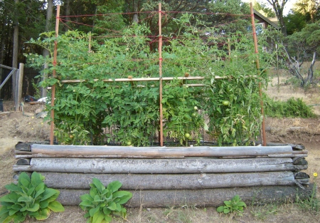 five-foot-high tomatoes, and growing!