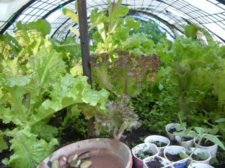 misty hydrated & covered lettuce, spinach & kale bed (seedlings too)
