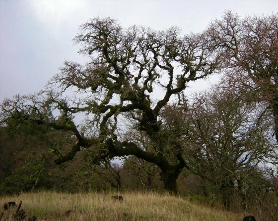 jenjoycedesign© blue oak