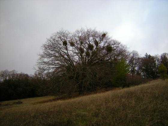 jenjoycedesign© mistletoe
