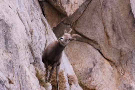 Bighorn Sheep_Steve Yeager_M