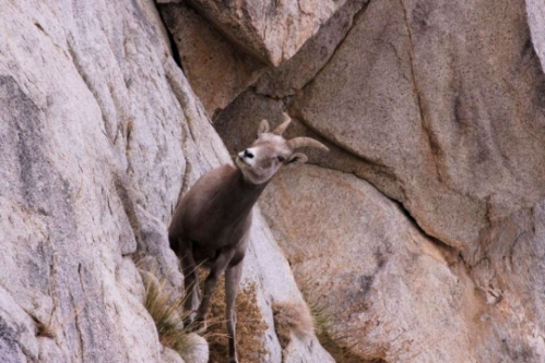 Bighorn Sheep_Steve Yeager_M