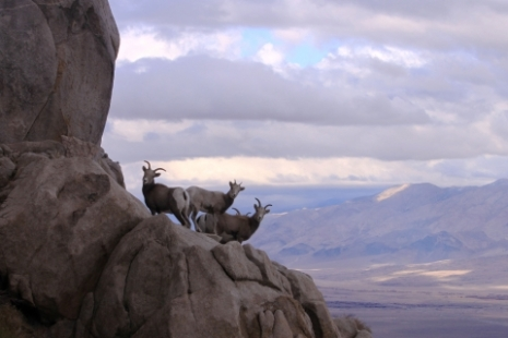 BigHorn Sheep_yosemite