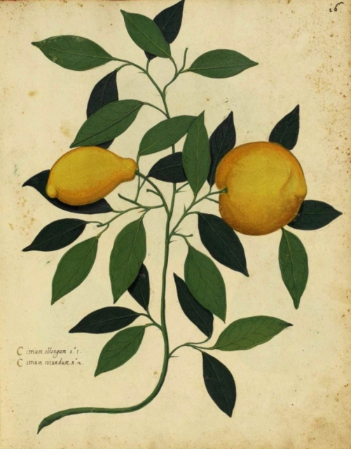Botanical-Fruit-Lemon-Italian-780x985