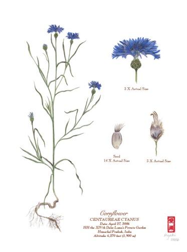 HHDL_Garden_Cornflower