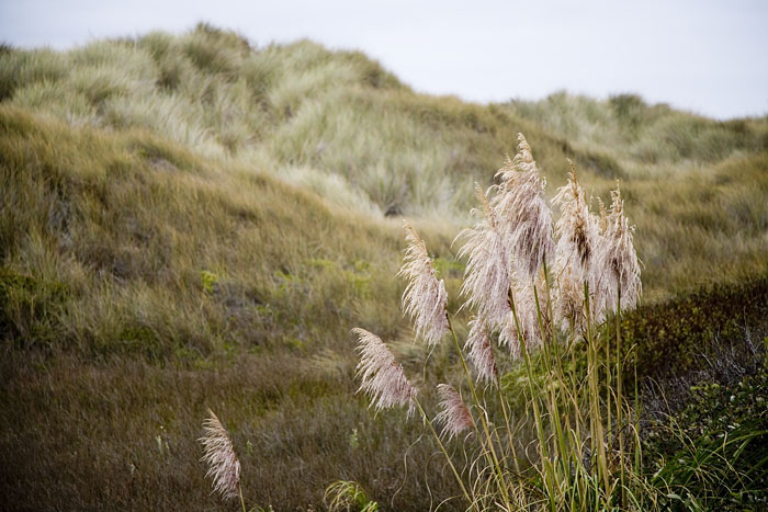 Pacific-coast-grass