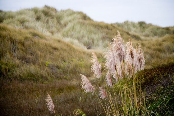 Pacific-coast-grass
