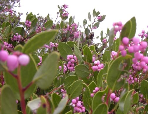 pink blooming manzanita