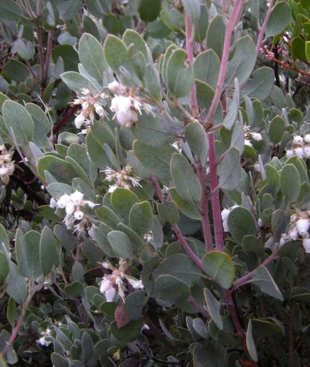 white blooming manzanita