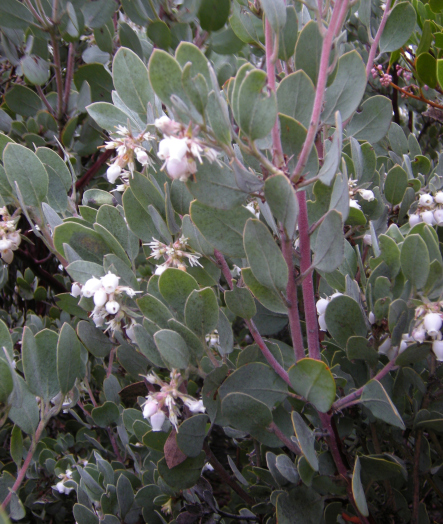 white blooming manzanita