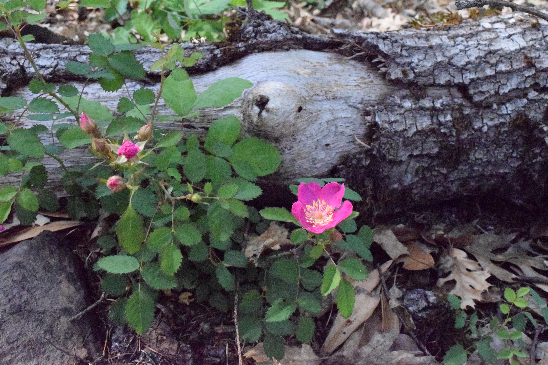 jenjoycedesign© native wild rose 2