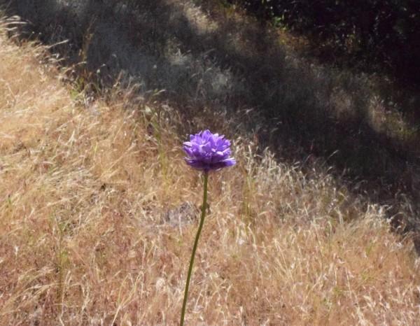 jenjoycedesign© wild native brodea flower 2