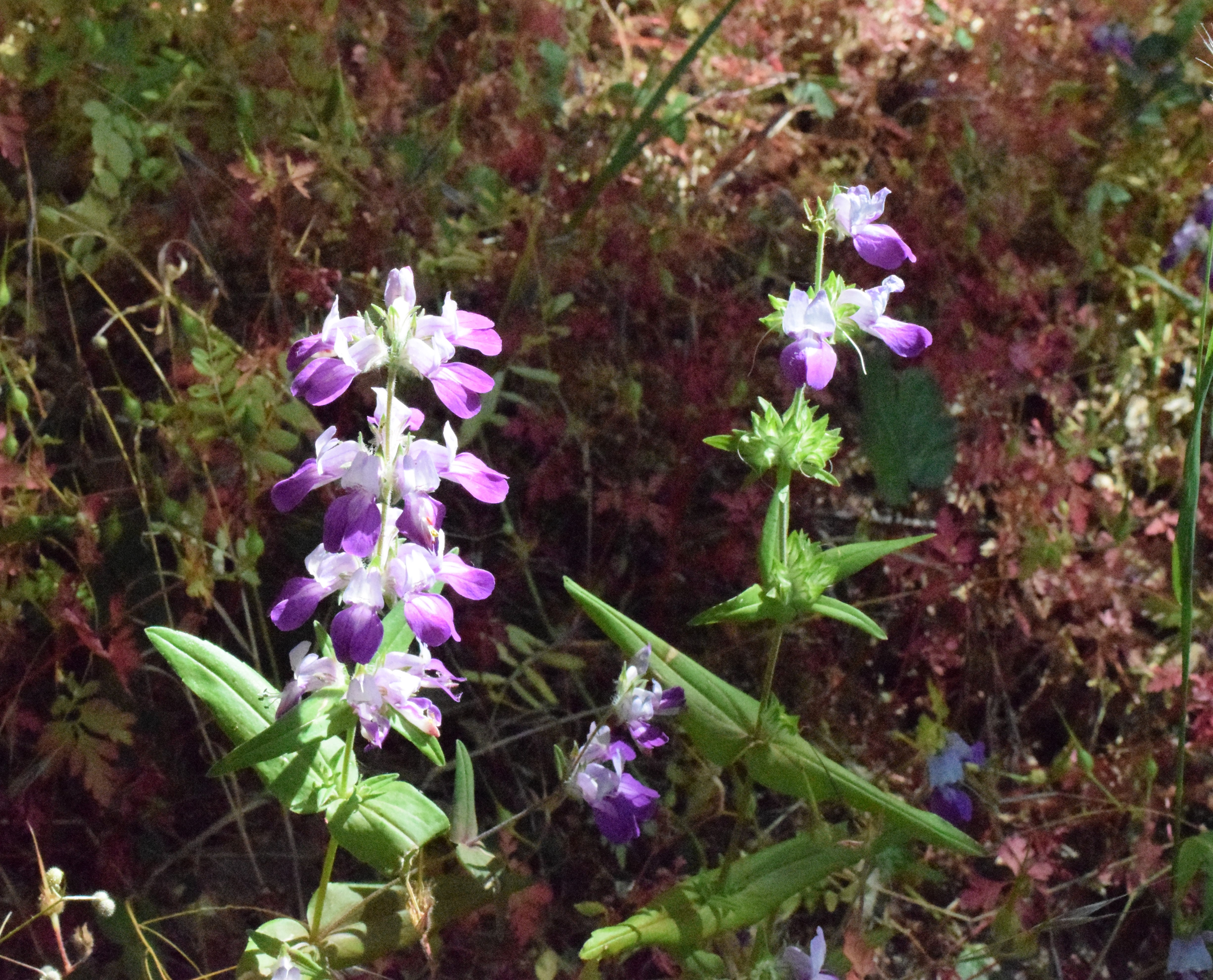 jenjoycedesign© wild native flower in question