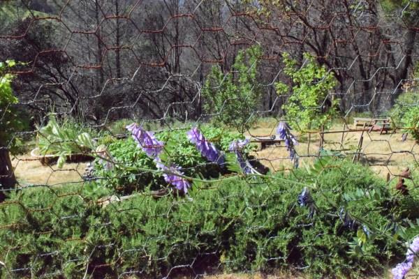 jenjoycedesign© wild pea on garden fence