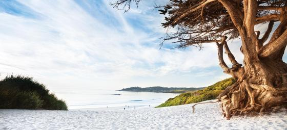 carmel_beach_cypress_tree_cropped