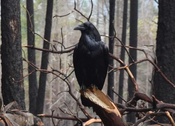 jenjoycedesign© Mt Veeder Raven.JPG