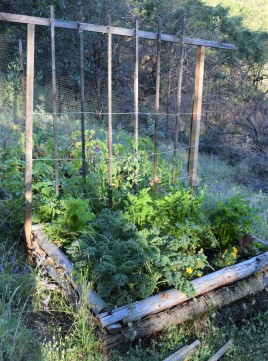 Potatoes, peas, kale, celery, lettuces, and marigolds, in a log bed which is now already 10 years old.