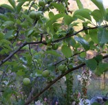 First fruit this year on young Gravenstein apple tree.
