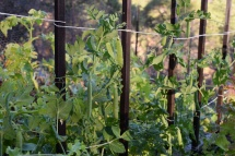 English peas, sprouted from a bag of fresh last March, already making their way up the first ever pea trellis of our mountain garden.