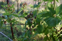 One of my prized plants in the garden are the thornless blackberries, as I am working on long trellised rows of them, all started from one plant bought years back.