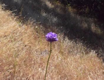 jenjoycedesignc2a9-wild-native-brodea-flower-2