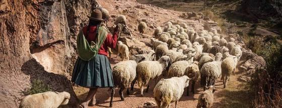 sheep-peru_1024x1024